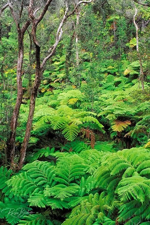 Tree Fern Forest, Hawaii Volcanoes National Park, The Big Island, Hawaii
