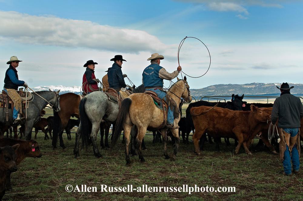 Cowboys sorting Angus cows and calves for branding, Wilsall, Montana