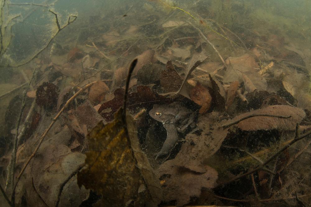 Common toad (Bufo bufo) hiding under the leaves. Vanlig padda.<br /> Location: Billebj&auml;r, Sk&aring;ne, Sweden