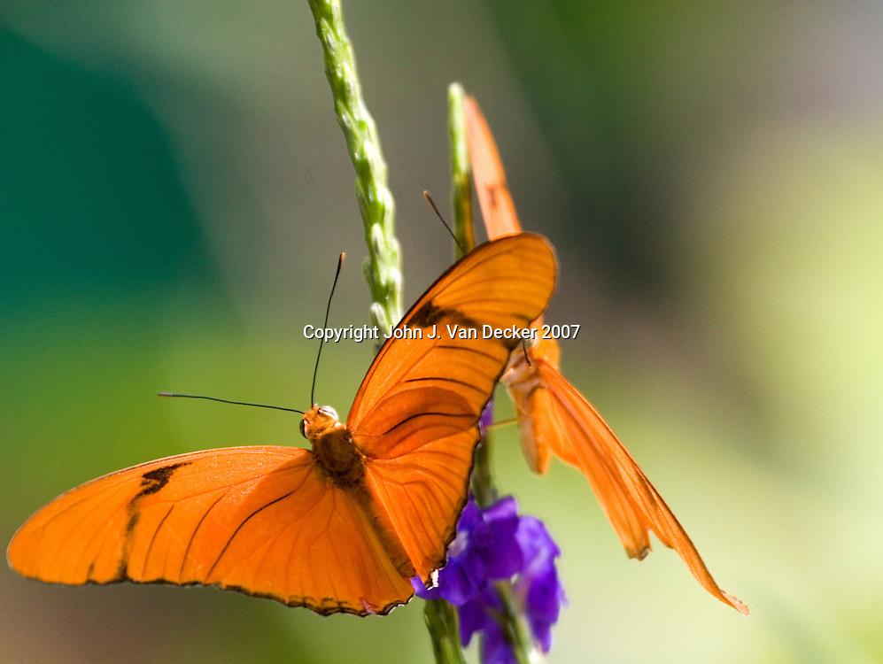 Two Julia Longwing butterflies landing and feeding