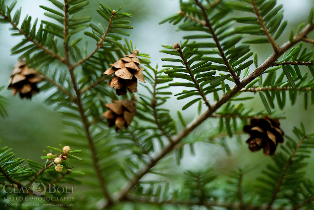 Canada Hemlocks are found in moist mountainous areas throughout eastern north america. In the past several years, they have begun dying off due to an invasive species of asian aphid, the hemlock woolly adeldgid