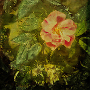 Beautiful pink rose with raindrops on green leaves and antique vintage texture. Square format with copy space. iPhone photo.
