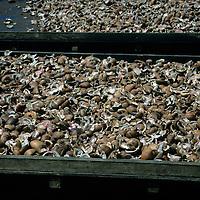 French Polynesia, Tahiti, Taha'a. Coconut shells drying.