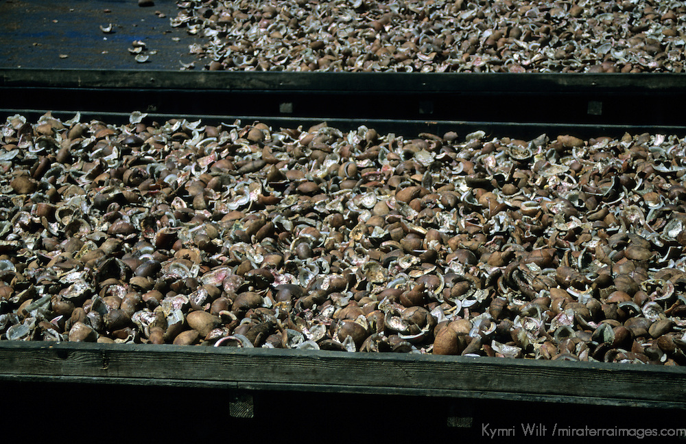French Polynesia, Tahiti, Taha'a. Coconut shells drying.