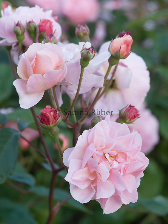 Rosa 'Cornelia' - Hybrid Musk (1925) - shrub rose