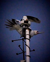 For those wondering what happened to the Masked Booby that was released the previous evening. It came back and spent the night on the mast of the MV World Odyssey. Image taken with a Nikon N1 V3 camera and 70-300 mm VR lens (ISO 6400, 300 mm, f/6.3, 1/60 sec). Raw image processed with Capture One Pro. This picture was taken early dawn with very little light. I had to push the ISO, and then use the Topaz DeNoise filter to clean the image (the NIK Define filter was not able to handle this much noise).
