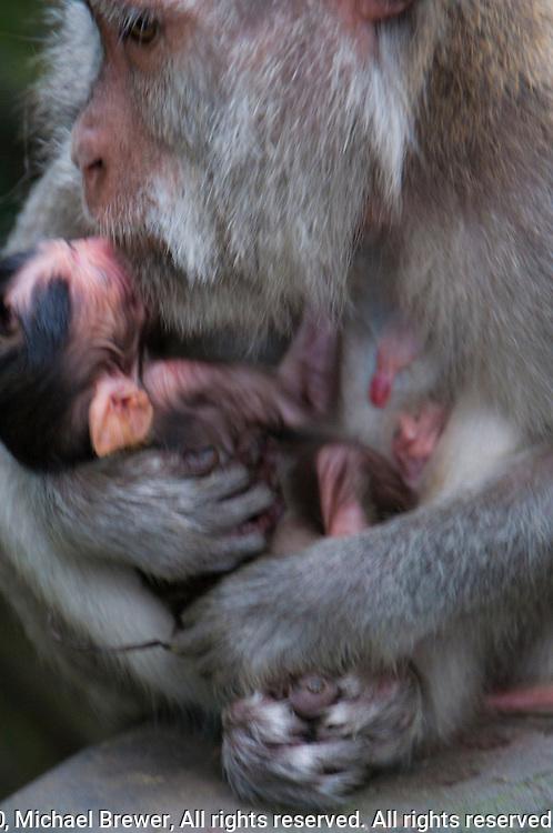 Monkey mother cuddling newborn baby at a temple near Tabanan, Bali, Indonesia