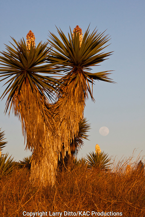 Yucca (Yucca treculiana) in bloom near the Texas coast at the mouth of the Rio Grande