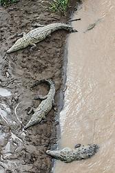 Crocodiles on river bank, from bridge over Tarcoles River, Costa Rica
