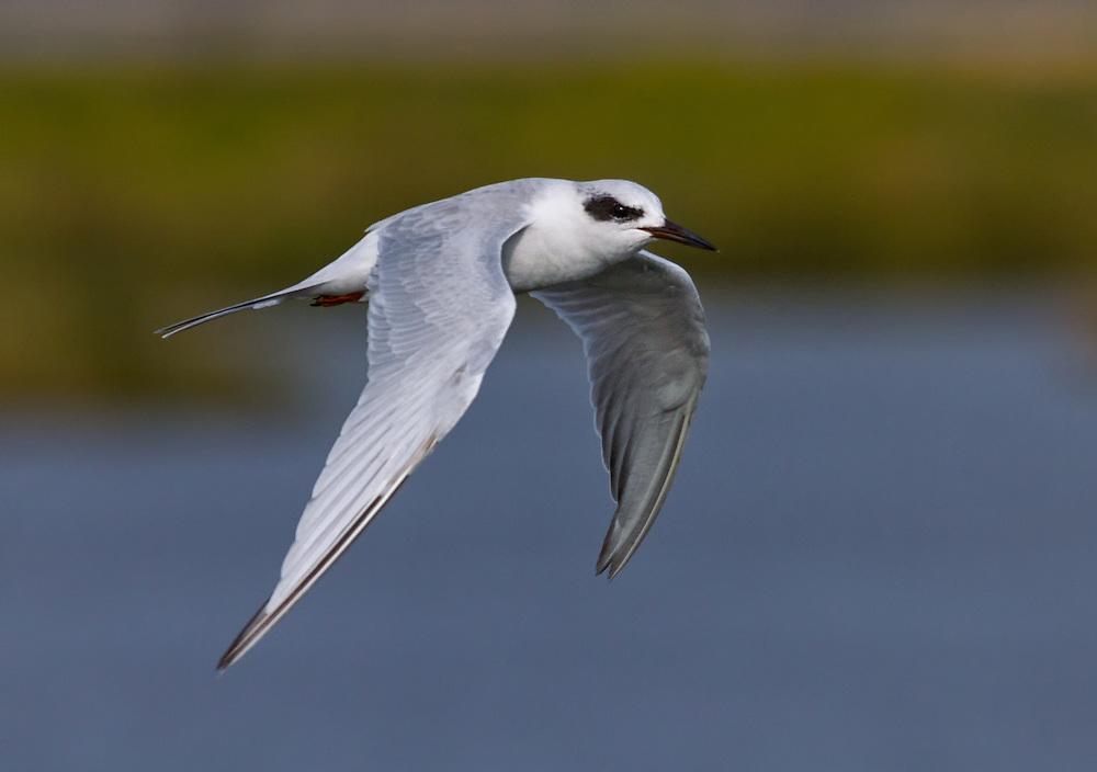 Forster's Tern (Sterna forsteri), nonbreeding flying