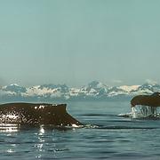 Alaska Humpback Whales