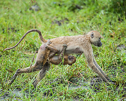 A baby baboon holds tightly to its mother in the bush of Zambia