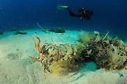 Common Cuttlefish (Sepia officinalis) (Sepiida) | Sepia oder Gemeiner Tintenfisch