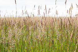 Mixed grasses in RSPB reserve, Dungeness. Yorkshire fog and Perennial Rye grass.