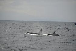 Orca Whale (Orcinus orca), Haro Strait, San Juan Islands, Washington, US