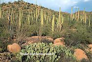 62745-012.07 Landscape at Saguaro NM (West)   AZ