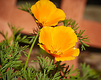California Poppy. Image taken with a Nikon N1V3 camera and 70-300 VR lens (ISO 160, 208 mm, f/5.6, 1/1000 sec).