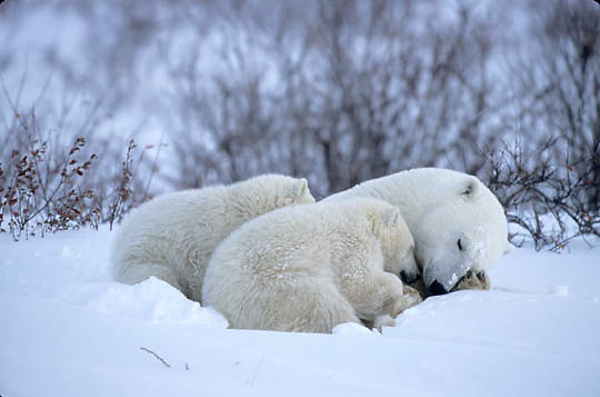 Polar Bear, (Ursus maritimus) Mother and cubs in day bed. Churchill, Manitoba. Canada.