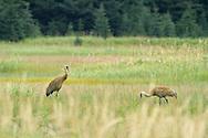 Sandhill Cranes (Grus canadensis) in Meadow, Lake Clark National Park, Alaska