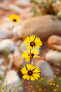 Daisies in Kanab creek canyon Grand Canyon NP