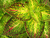 Coleus plant with green and yellow variegated leaves and red veins