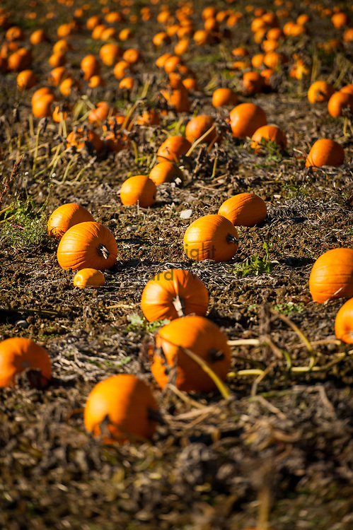 2017 OCTOBER 27 - Pumpkins in a patch near Carnation, WA, USA. By Richard Walker