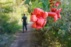 Trumpeter vine and man walking on trail to Greer Island in Lake Worth, Fort Worth Nature Center, Fort Worth, Texas USA. Greer Island is the home of the famed Lake Worth Monster, or Goatman.