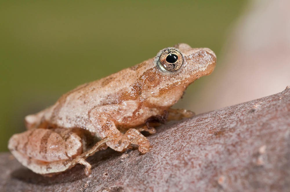 The spring peeper, Pseudacris crucifer, is a small chorus frog found throughout the eastern USA and Canada.