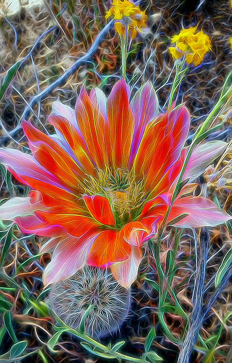 Echinocereus dasyacanthus (Texas rainbow cactus) Pecos County, TX