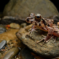 The Hole-in-the-head Frog (Huia cavitympanum) is the only amphibian in the world which is known to be capable of communicating with purely ultrasonic calls, beyond the range of human hearing, and it has a recessed eardrum built specifically for this purpose. It is endemic to clear water streams in Borneo.