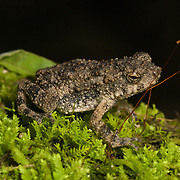 Sub-adult Phrynoidis aspera, AKA Asian Giant Toad, River Toad, Rough Toad.