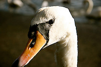 Swan, Malahide Ireland
