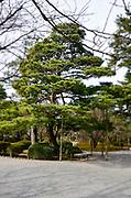 Cherry tree in a Zen Garden, Tokyo, Japan