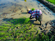"""21 NOVEMBER 2017 - MAUBIN, AYEYARWADY REGION, MYANMAR: A worker plants baby rice in a paddy in the Ayeyarwady  Delta. Myanmar is the world's sixth largest rice producer and more than half of Myanmar's arable land is used for rice cultivation. The Ayeyarwady Delta is the most important rice growing region and is sometimes called """"Myanmar's Granary."""" The UN Food and Agriculture Organization (FAO) is predicting that the 2017 harvest will increase over 2016 and that exports will surge to 1.8 million tonnes.   PHOTO BY JACK KURTZ"""