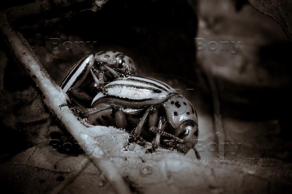 Colorado Beetles in Love.