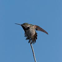 Caliope hummingbird on perch.