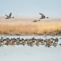 three northern pintail ducks fly over a flock of ducs resting on ice