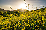 Blooming Mustard Plant
