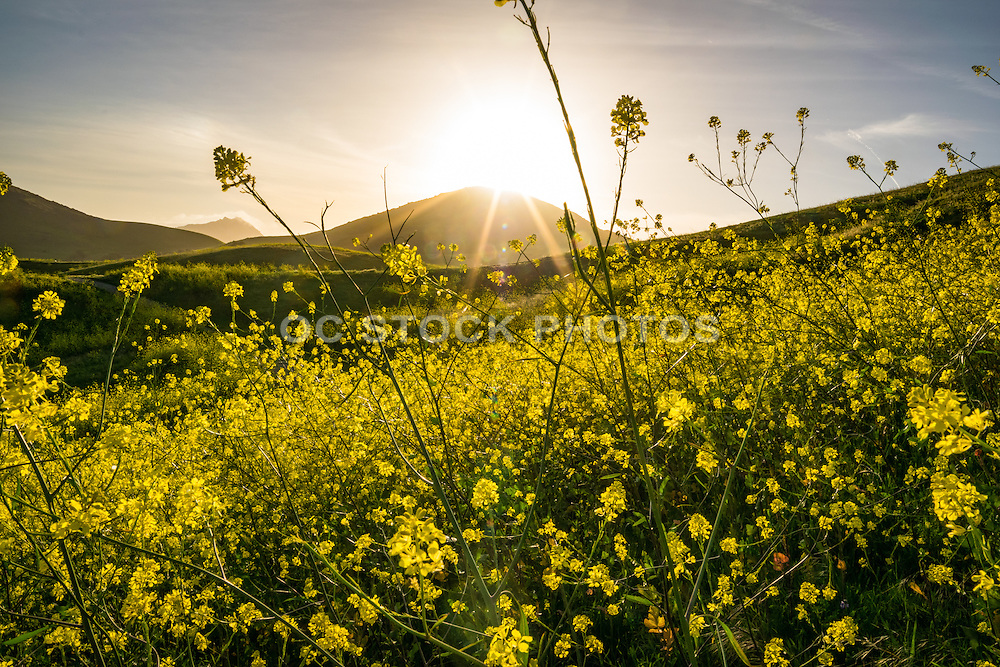 Blooming Mustard Plant