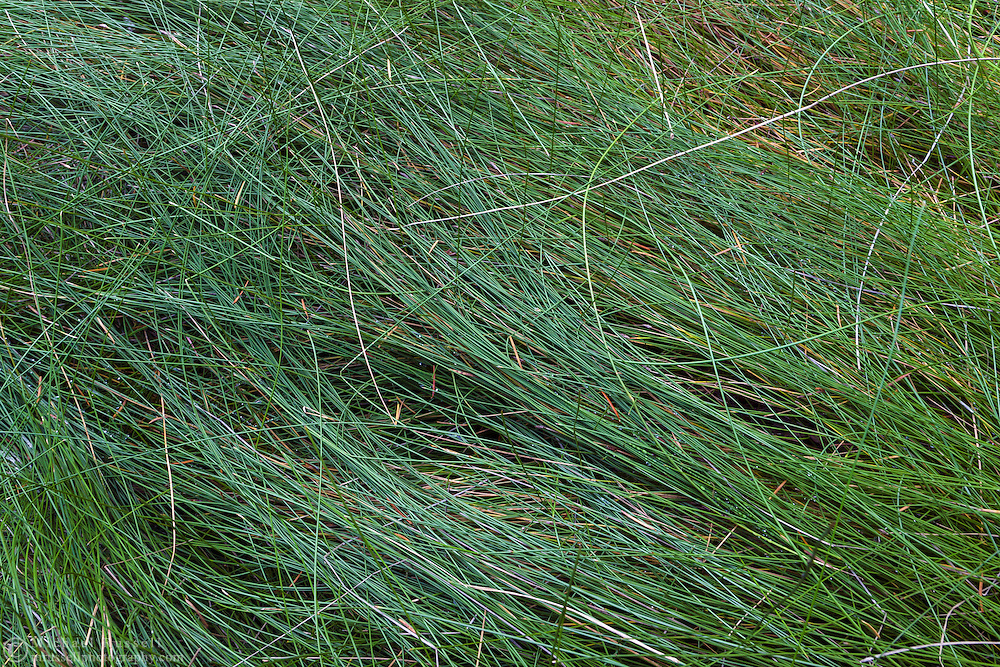 Sedges (or grasses) cover the ground at the Ohanapecosh Hot Springs in Mount Rainier National Park, Washington State, USA