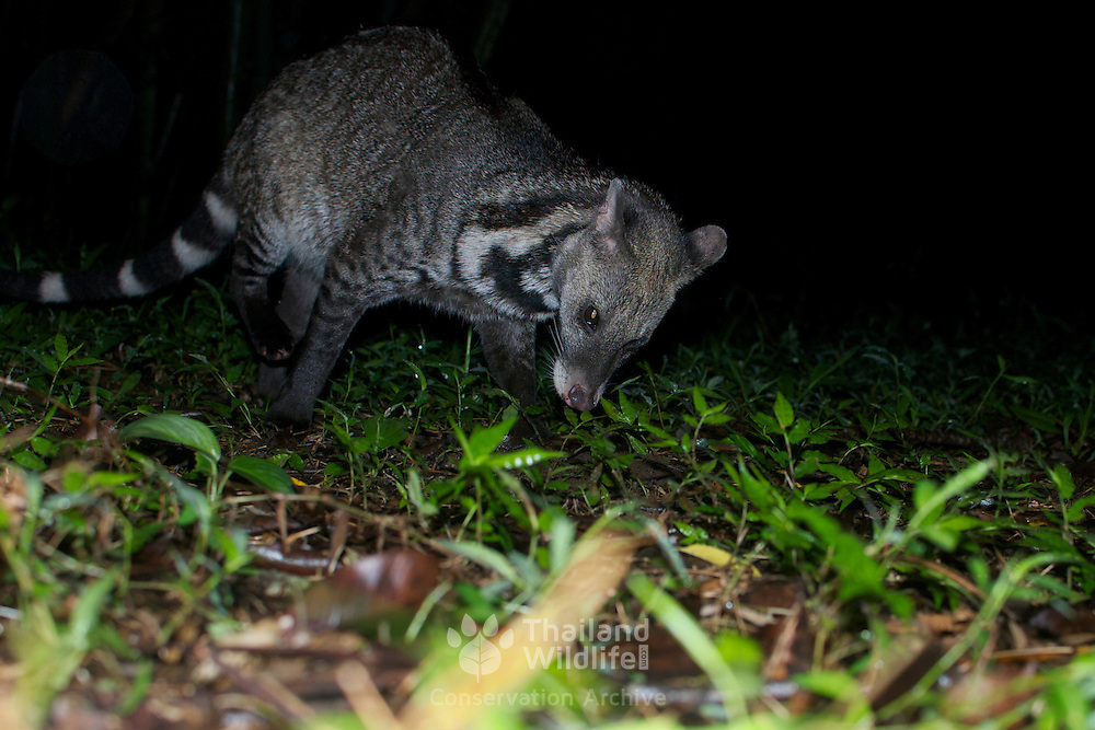 The Large Indian Civet (Viverra zibetha) is a member of the Viverrid family native to Southeast Asia. This animal is camera trap photographed in Huai Kha Kaeng Wildlife Sanctuary, Thailand.