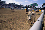Bull Riding, Bucking Bull, Salinas Rodeo, Salinas, California