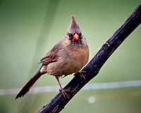 Female Northern Cardinal. Image taken with a Nikon D5 camera and 600 mm f/4 VR lens (ISO 1600, 600 mm, f/5.6, 1/640 sec).