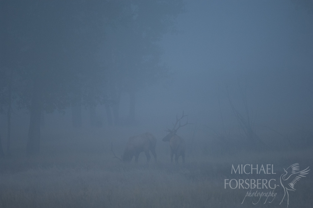 Missouri River valley, Charles M Russell National Wildlife Refuge, Missouri River breaks, Montana<br /> <br /> Bull elk foraging in fog at first light