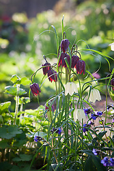 Fritillaria meleagris and Pulmonaria 'Blue Ensign'  in the woodland garden at Glebe Cottage