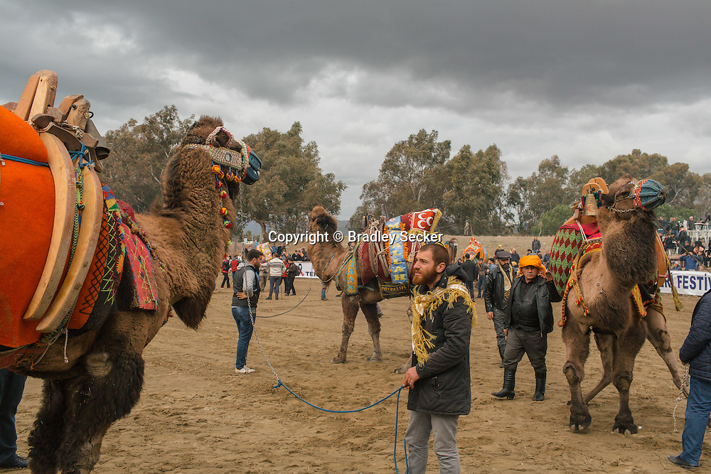 TURKEY, Izmir, Selçuk. Competing camels are walked around the wrestling arena, past fans at the 35th annual Selçuk Camel Wrestling Festival.