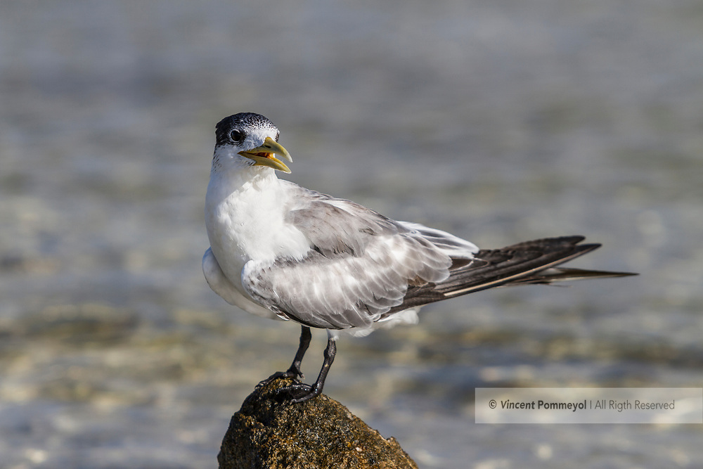 Greater Crested Tern-Sterne huppée (Thalasseus bergii), Rangiroa atoll, French Polynesia.
