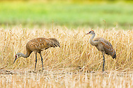 A juvenile Sandhill Crane (Grus canadensis) and its parent forage at Creamer's Field Migratory Waterfowl Refuge in Fairbanks in Interior Alaska. Summer. Afternoon.