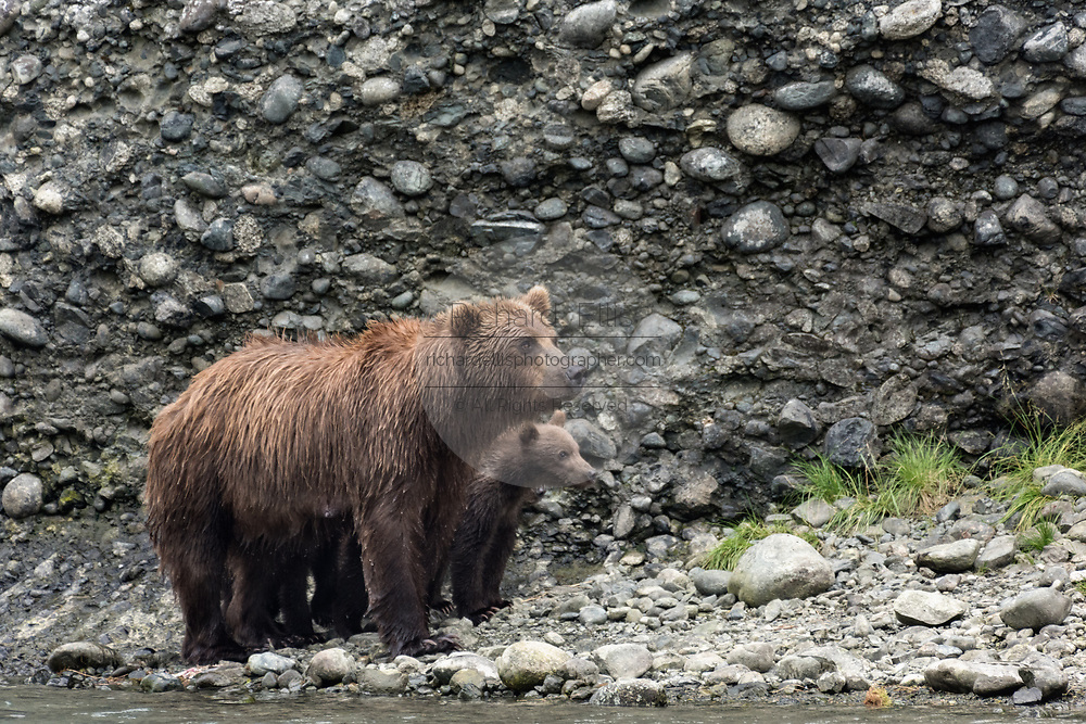 A brown bear sow known as Bearded Lady stands with her spring cubs at the McNeil River State Game Sanctuary on the Kenai Peninsula, Alaska. The remote site is accessed only with a special permit and is the world's largest seasonal population of brown bears in their natural environment.