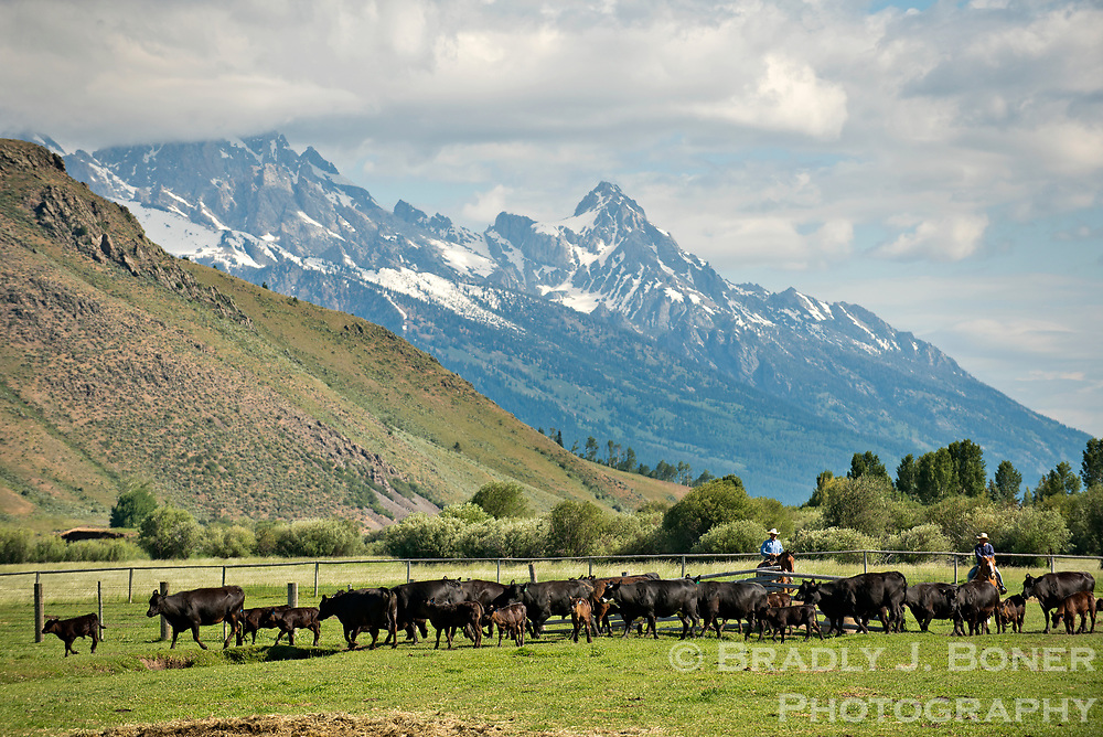 Pete Feuz and Brad Mead drive cattle into corrals from the pasture at the Mead Ranch in late June in Spring Gulch. In 2002, the Mead Ranch was one of the first in the valley to start selling local beef to local consumers, an idea concieved by Brad's wife, Kate.